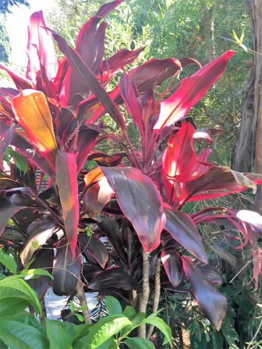 Tropicana Cana Lily