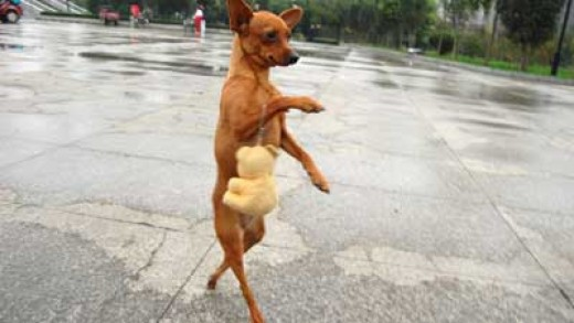 the four- legged dog on two legs
