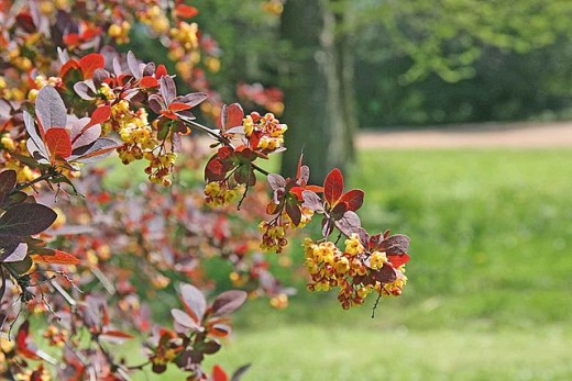 Berberis thunbergii var. Atropurpurea brings color contrast into the spring pallete