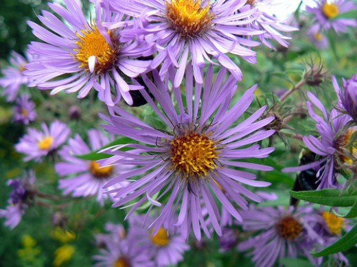 New England aster photo by benimoto.