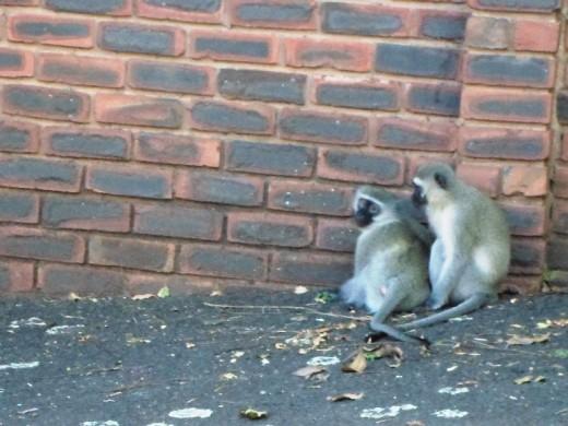 Vervet Monkeys a nuisance in Durban suburbs, South Africa