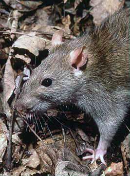 The brown rat has several nicknames: common rat, sewer rat, street rat, Hanover rat, Norway rat, Norwegian rat, and wharf rat.