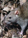 Rat control prevention