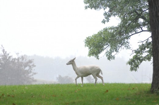 The sighting of a white deer can mean different things.