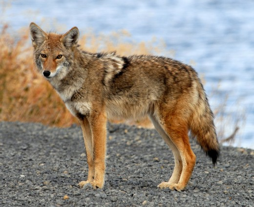The coyote was often seen as a trickster in Native American lore.