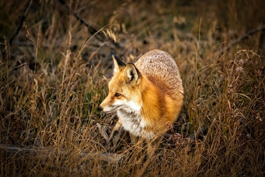 The appearance of the fox is often a sign of good luck, unless you own a henhouse.