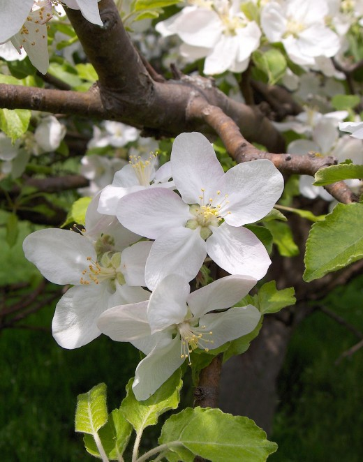 APPLE TREE FLOWER BLOSSOMS