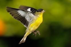 The Joy of The Songbird