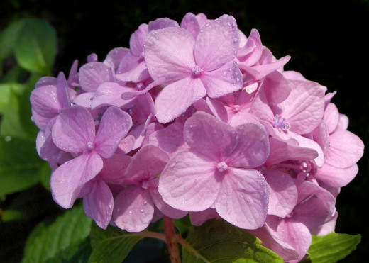 PINK HYDRANGEA WITH MORNING DEW