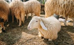How Sheep's Wool is  Processed