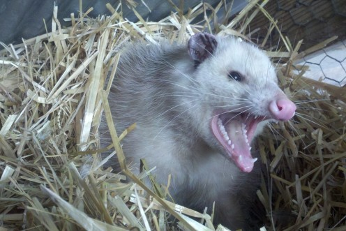 Do not let a possum's cute face  fool you. If they are provoked  they will bite you.
