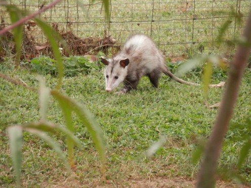Possum foraging for food.