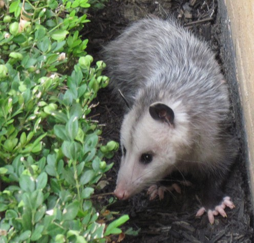 Opossums are hard  to beat when it comes to being cute.