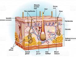 The Amazing Human Skin