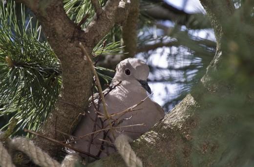 A dove minding its nest.