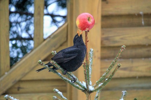 Black bird enjoying the fruit of the day.