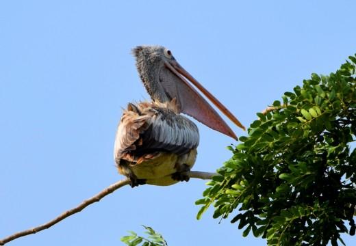 A Spot-billed Pelican