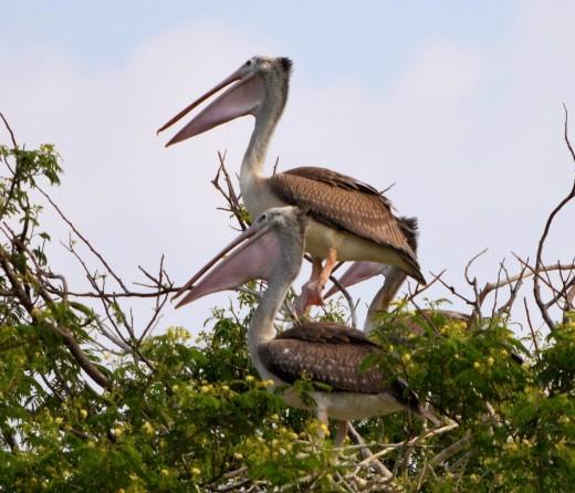 A pair of Spot-billed Pelicans