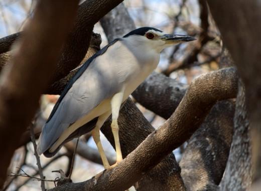 Black- crowned Night Heron