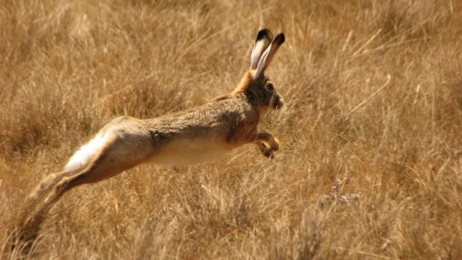 Witches were thought to be able to shift forms. The hare was one of their favorites.