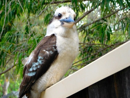 Kookaburra getting ready to laugh its morning laugh