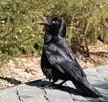 Australian raven.