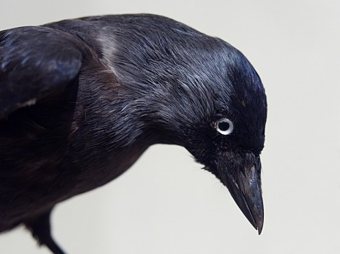 A crow patiently waiting  to see what is going.
