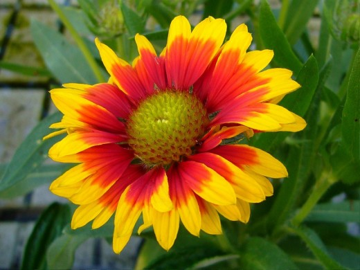 Blanket flower is a wonderful nectar source and native to Florida.