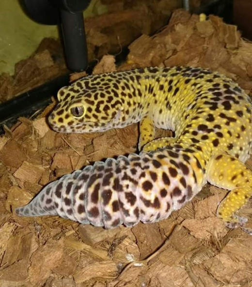 A great picture of a leopard gecko's tail.