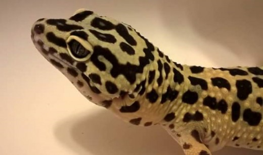 This picture shows a close up of an example of a  leopard gecko's skin texture and ears.
