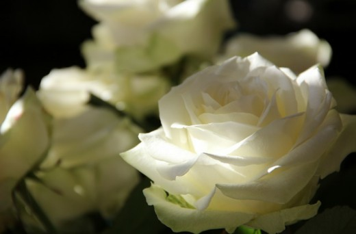 White Roses touched by Sunlight