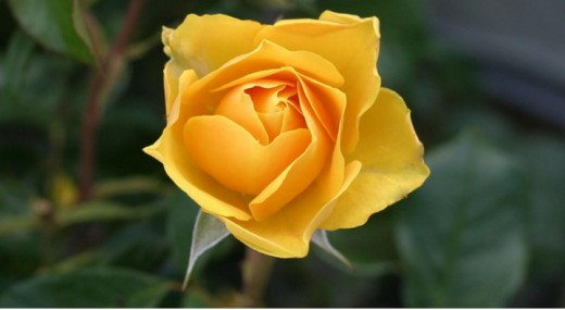 The Splendor of a Yellow Rose