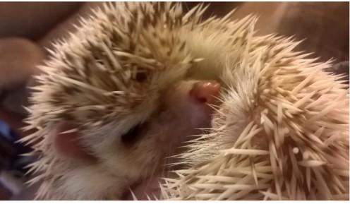 Hedgehog Basic Care