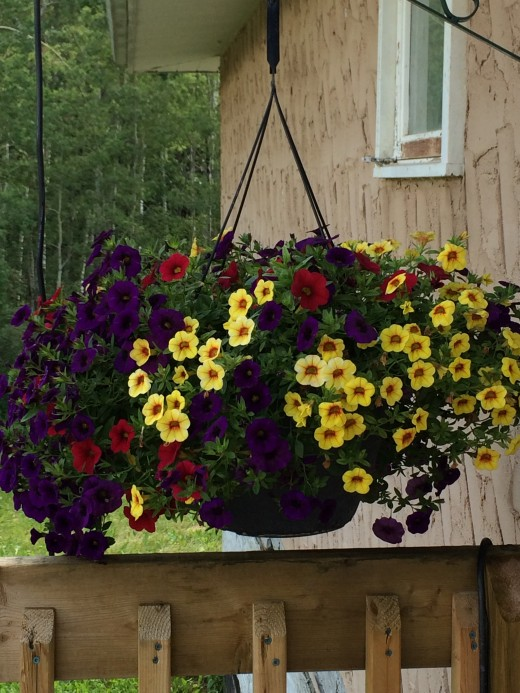 Hanging baskets of million bells. In 3 different colors.