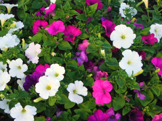 Petunias everywhere, Purple, Pink and White.