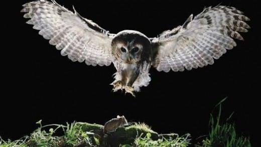 Carnivore (eats mice, small animals, birds and also other owls )