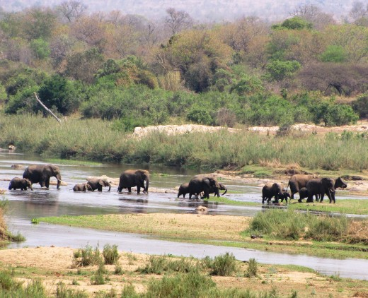 Elephants crossing the Crocodile River near Malelane Camp