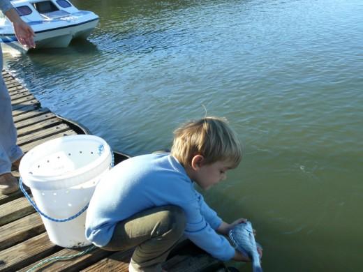 Releasing a 35cm Steenbras