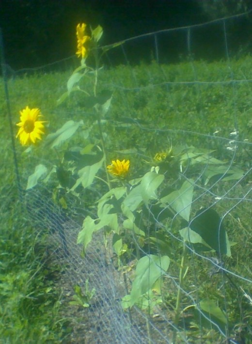 Sunflowers smiling at me from my garden