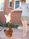Have you ever seen a chicken jump up as much as 4 or 5 feet?