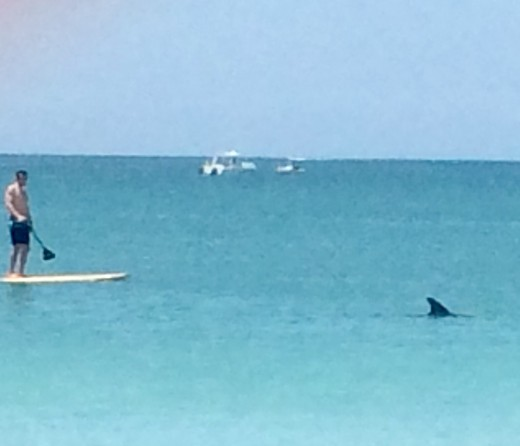 A dolphin leading a boarder just off the beach in Venice