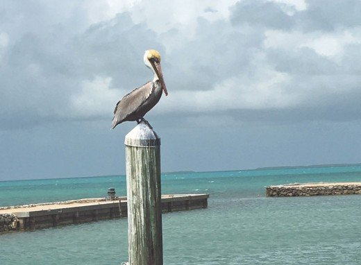 A Pelican resting on a pier pole waiting for its next meal.