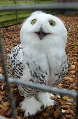 Keeping Owls as Pets: Yes, It's Legal