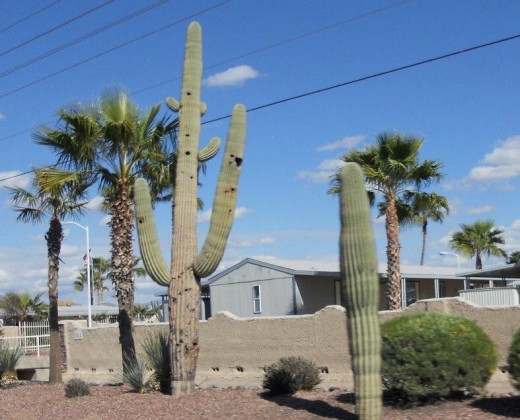 Cacti right down town Mesa Arizona