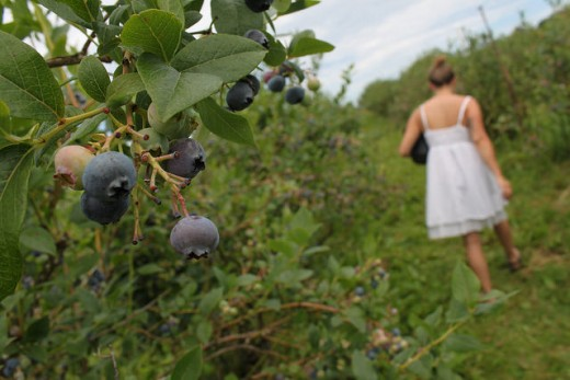 Go berry picking on Lughnasadh and partake in an ages-old tradition!