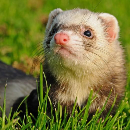 Angora Ferret as a Pet