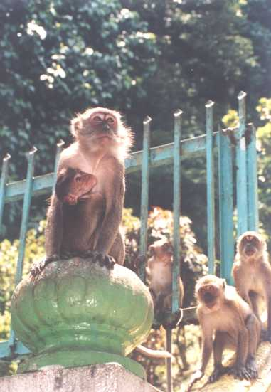 Beware of cheeky monkeys!