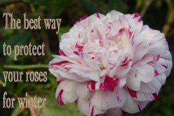What Is the Best Way to Protect Your Roses from Harsh Winters