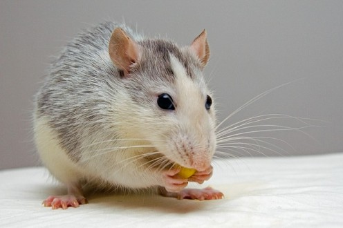 How to Take Care of a Pet Rat