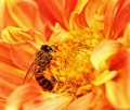 Wonders of the Honey Bee